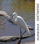great white egret  ardea alba ...   Shutterstock . vector #1047369565