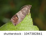 The Codling Moth  Cydia...