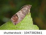 The codling moth  cydia...