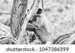 gray langur also known as... | Shutterstock . vector #1047386599