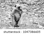 gray langur also known as... | Shutterstock . vector #1047386605