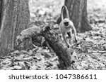 gray langur also known as... | Shutterstock . vector #1047386611