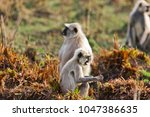 gray langur also known as... | Shutterstock . vector #1047386635