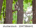 gray langur also known as... | Shutterstock . vector #1047386641