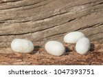White Cocoons On Old Wood