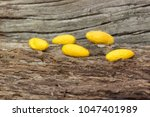 Yellow Raw Cocoons  On Old  Wood