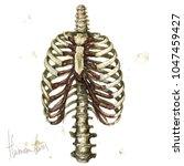 human bones. watercolor... | Shutterstock . vector #1047459427