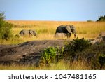 wild beautiful elephants | Shutterstock . vector #1047481165