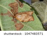 Small photo of Adoxophyes reticulana moth of Tortricidae family on apple tree leaves.