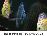 discus family in aquarium | Shutterstock . vector #1047490765
