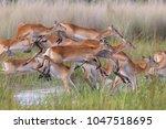 Lechwe Antelopes Jumping In...