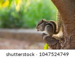 squirrels are members of the... | Shutterstock . vector #1047524749