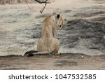 lioness at the gir forest... | Shutterstock . vector #1047532585