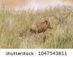 warthog with family in south... | Shutterstock . vector #1047543811