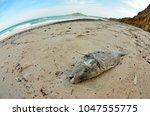 dead fish stranded on the beach ... | Shutterstock . vector #1047555775