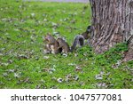 a busy mother squirrel takes... | Shutterstock . vector #1047577081