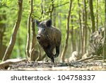 Boar Feeding In The Forest