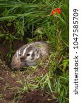 Small photo of North American Badger (Taxidea taxus) Snarls Out - captive animal