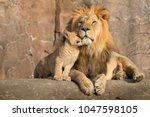This Proud Male Aftican Lion I...