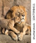 Small photo of This proud male aftican lion is cuddled by his cub during an affectionate moment.