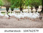 beautiful white geese in nature | Shutterstock . vector #104762579