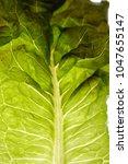 close up of green leaf lettuce  ... | Shutterstock . vector #1047655147