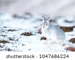 Stock photo white mountain hare lepus timidus these hares are native to the british isles the hares in 1047686224