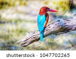 white throated kingfisher on a... | Shutterstock . vector #1047702265