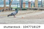 pigeon in the park background ...   Shutterstock . vector #1047718129