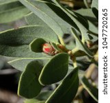 Small photo of Soft focus abstract photo of an early spring manzanita bud; Tonto National Forest in Arizona