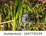 blooming violet crocus flowers  ...   Shutterstock . vector #1047735199