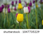 bright tulips blooming  spring... | Shutterstock . vector #1047735229