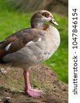 egyptian goose standing on... | Shutterstock . vector #1047846154