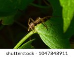 Small photo of Macro view of the side of the young spider-wolf Arachnida with a brown body and long hairs sitting in the shade on the green leaf of the nettle Lamium album in the foothills of the Caucasus