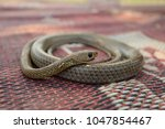 Indochinese Rat Snake