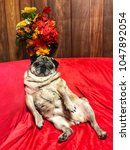 Stock photo pug dog is sitting on red sofa 1047892054