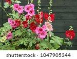 Alcea Rosea  Common Hollyhock ...