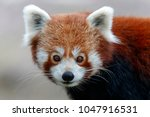 Small photo of lesser panda, (Ailurus fulgens fulgens), captive, Germany