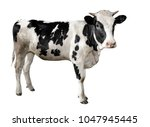 spotted black and white cow... | Shutterstock . vector #1047945445