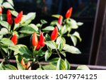 red chilli group on tree  spicy ...   Shutterstock . vector #1047974125