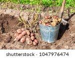 Freshly Dug Potatoes In Metal...