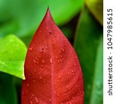 red leaf  with waterdrops....   Shutterstock . vector #1047985615