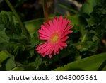gerbera jamesonii gerbera... | Shutterstock . vector #1048005361