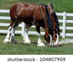 Majestic Clydesdales Munching...