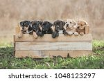 Stock photo litter of american staffordshire terrier puppies in a box 1048123297