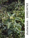 Small photo of Amaranth. Amaranthus. Annual herbaceous plant.