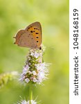 Small photo of Closeup of a small or common Copper butterfly, lycaena phlaeas, feeding nectar of white flowers in a floral and vibrant meadow with bright sunlight.