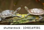 Portrait Of Two Turtles Facing...