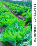 growing plants of cabbage in a... | Shutterstock . vector #1048219861