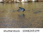 American Coot Flying Over Lake